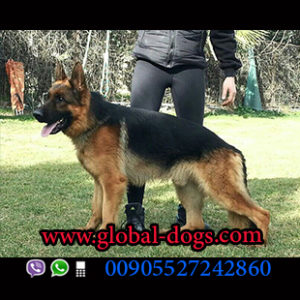 أسعار كلاب الجيرمن شيبرد - www.global-dogs.com